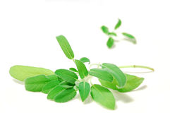 Fresh green salvia. Fresh leaves of green salvia herb Stock Photography