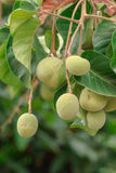 Fresh Green Santol on tree Stock Images