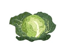 Fresh Green Savoy Cabbage on White Background Stock Photography