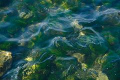 Fresh green seaweed and pebble bottom. Close-up. Ffresh green seaweed and white pebbles on the seaside Stock Photo