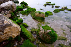 Fresh green seaweed on stones Royalty Free Stock Images