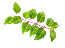 Fresh green seedling of fuchsia with dew Stock Image