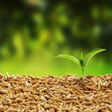 Fresh green seedling sprouting from wood pellets. Used as an organic mulch against a blurred green outdoor background with copy space royalty free stock photo