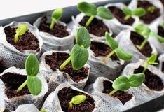 Fresh green  seedlings. Fresh green cucumber seedlings in small bags with soil isolated on a white background Stock Photos