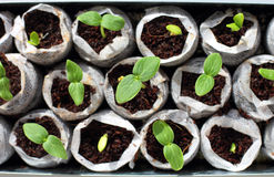 Fresh green seedlings