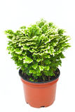 Fresh green selaginella in red pot Stock Photography