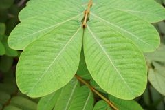Green Senna alata leaves in nature garden Stock Photo