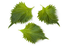 Fresh green shiso leaves Stock Photos