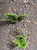 Fresh Green Shoots on Norfolk Island Pine Tree stock photo