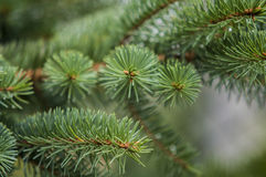 Fresh green soft focus close-up of pine tree Royalty Free Stock Photos