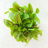 Fresh green sorrel leaves Royalty Free Stock Photos