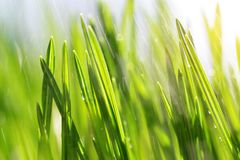 Fresh green spring blades of grass on meadow in rain closeup. Natural background Royalty Free Stock Photo