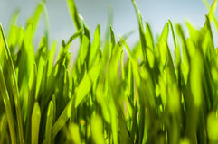 Fresh green spring grass blades Royalty Free Stock Photo
