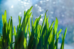 Fresh green spring grass blades Royalty Free Stock Images