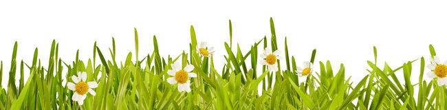 Fresh green spring grass and daisy border Royalty Free Stock Image