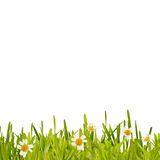 Fresh green spring grass and daisy border stock photo