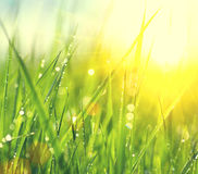 Fresh green spring grass with dew drops royalty free stock images