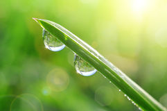 Fresh green spring grass with dew drops Royalty Free Stock Photos