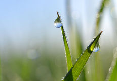 Fresh green spring grass with dew drops Royalty Free Stock Image