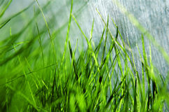 Fresh green spring grass in greenhouse Stock Images