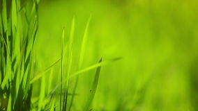Fresh Green Spring Grass Lawn in Morning Close up, Bright Vibrant Natural Season Background with Shallow Depth of Field stock video footage