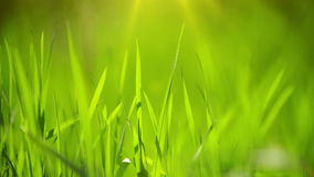 Fresh Green Spring Grass Lawn in Morning Close up, Bright Vibrant Natural Season Background with Shallow Depth of Field stock video