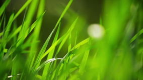 Fresh Green Spring Grass Lawn in Morning Close up, Bright Vibrant Natural Season Background stock footage