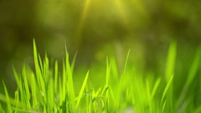 Fresh Green Spring Grass Lawn in Morning Close up, Bright Vibrant Natural Season Background stock video