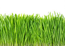 Fresh green spring grass with water drops Royalty Free Stock Images