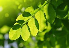 Fresh green spring leaf of Acacia Royalty Free Stock Photos