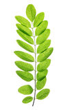 Fresh green spring leaf of Acacia or Black Locust Royalty Free Stock Images