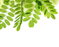 Fresh green spring leaf of Acacia or Black Locust Royalty Free Stock Image