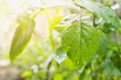 Fresh green spring leaf and water drop Royalty Free Stock Images