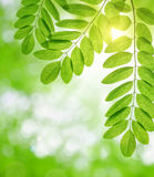 Fresh green spring leaves of Acacia or Black Locust Royalty Free Stock Photography