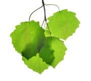 Fresh green spring leaves of aspen Stock Image