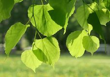 Fresh green spring leaves glowing in sunlight Stock Images