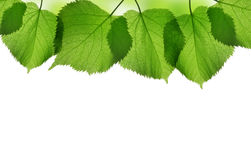 Fresh green spring leaves of linden Stock Images