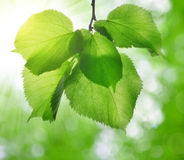 Fresh green spring leaves of linden Royalty Free Stock Photos