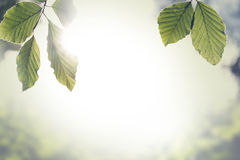 Fresh green spring leaves with sun flare. Retro instagram style image of a fresh green spring leaves with sun flare against a blurred nature background with Stock Photography