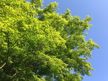 Fresh green Spring tree leaves against blue sky Royalty Free Stock Photos