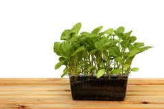 Fresh Green Sprout Isolated On White Background In Peat Pot Stock Image
