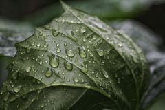 Fresh green sprouting leaves covered in dewdrops royalty free stock images