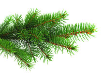 Fresh green spruce branch Stock Images