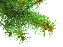 Fresh green spruce branch with little cones Royalty Free Stock Images