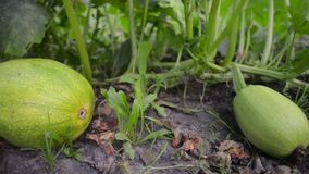 Green squash vegetables. Fresh green squash laying on vegetable garden ground, pan camera movement stock video footage