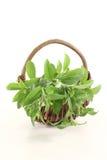Fresh green Stevia Stock Photography
