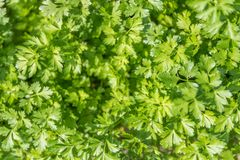 Parsley. Fresh green sunlit parsley background Stock Images