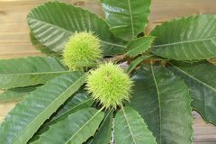 Fresh green sweet chestnut with leaves Stock Photos