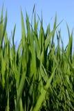 Fresh green tall spring grass Stock Photos