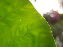 Fresh Green Taro` leaf in the afternoon sunlight royalty free stock photography